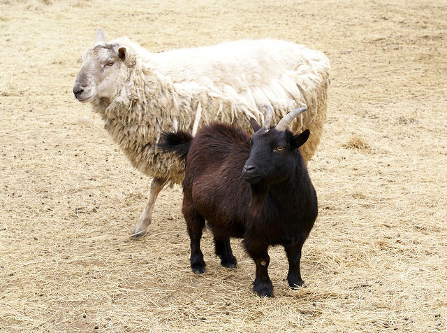 Managing Sheep and Goats - Short Course