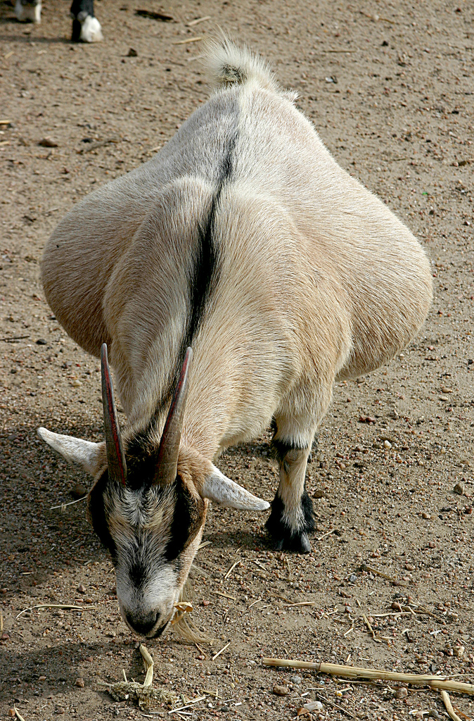 Sheep and Goat: Breed Selection
