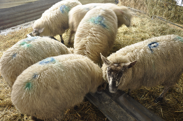 Sheep and Goat: Feeding and Nutrition