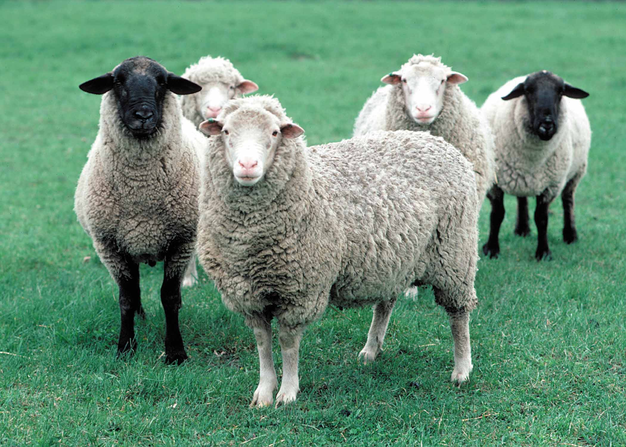 Sheep and Goat: Health and Disease